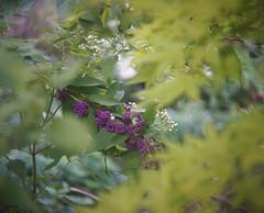 DSC04013 (Old Lenses New Camera) Tags: sony a7r schneider schneiderkreuznach xenon 5cm 50mm f2 plants garden tree leaves japanesemaple beautyberry