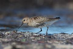 Immature Dunlin at Skeie S24A0129 (grebberg) Tags: skeie h rogaland norway september 2016 wader shorebird sh immature dunlin calidrisalpina calidris