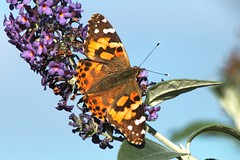 Painted Lady (elhawk) Tags: mygarden wildgarden butterfly paintedlady