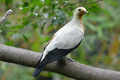 Pied Imperial pigeon 黑袖鴿 (Lim SK) Tags: