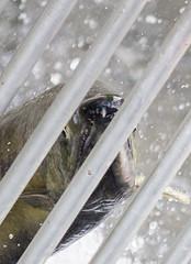 Flattering (Mason Aldridge) Tags: nature lifecycle informative educational magic coho sockeyesalmon spawn eggs spawning