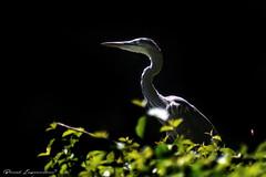 Grey Heron (Boreal Impressions) Tags: greyheron grey heron aves pelecaniformes ardeidae ardea ardeacinerea longlegged predator wadingbird heronfamily temperate europe asia africa wetland lakes rivers ponds marshes seacoast aquatic heronries