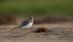 Semipalmated plover (Phiddy1) Tags: birds canada ontario plover presquile sandpiper semipalmatedplover shorebirds