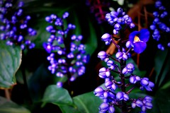 Blau - blue  ?? , 75221/7417 (roba66) Tags: blumen blume blten flower blossom roba66 fleur flori flor flora flores bloem plants pflanzen colores color colour coleur makro macro closeup farbe