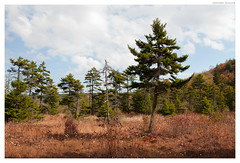 Lonely Tree (Geoff Sills) Tags: cranberry glades monongahela national forest west virginia landscape fall autumn mountains beautiful open grass wild nature rule thirds geoffrey william sills geoff nikon d700 35mm 14g pine trees