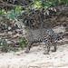 Another jaguar cub picture