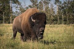 North American Bison (Turk Images) Tags: aspenparkland bisonbison elkislandnationalpark plainsbison breedingseason alberta bovidae mammals prairie