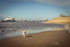 Obi - Blackpool dash for freedom (warner_pics) Tags: obi yellow labrador blackpool beach pier coast sand sony a5100 ilce5100 sigma sigma30mmf14 blue skies