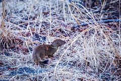 DSC07368-2 (sharon.verkuilen) Tags: zambia animal mongoose