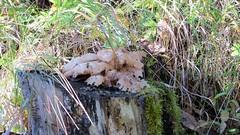 Unknown Stump Mushroom (Gerald (Wayne) Prout) Tags: unknown stumpmushroom bridgetobridgetrail cityoftimmins northeasternontario canada prout geraldwayneprout canon timmins mountjoytownship mountjoy northernontario northern mushroom stump bridge trail northeastern