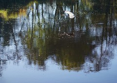 DSC01272  Heron (Martina Morris ( Ireland) Thanks for over1,000,000) Tags: heron flying autumn water weather walk