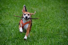 Anton (Lilith-Luana) Tags: beagle hund hunde dog rde jagdhund stckchen rennen spielen