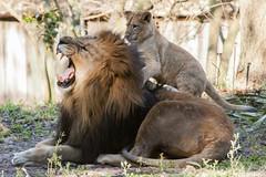 JaxZoo_1-19-15-4483 (RobBixbyPhotography) Tags: gorilla lion lemur lions cubs lioness