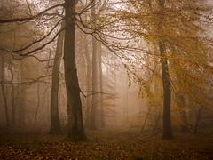 Reaching Out (Damian_Ward) Tags: wood autumn trees mist fall leaves fog forest lumix panasonic oxfordshire autumnal beech dmc oxon m43 mft 20mmlens astonrowant gh3 damianward micro43 microfourthirds astonrowantnaturereserve hh020 ©damianward