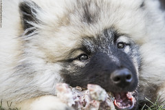 Fur and Meat (Andrea Gambadoro) Tags: dog up fur photography eyes looking close eating australia meat eat stare adelaide