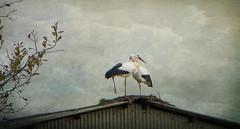 IMG_1357 Autumn storks (pinktigger) Tags: roof italy bird nature italia nest stork cegonha cigea friuli storch cigogne ooievaar fagagna cicogna oasideiquadris feagne