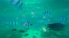 (G Alarkon) Tags: sea fish nature water swim underwater stripes philippines coron corals palawan 2014 seawater schooloffish