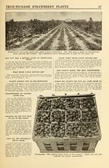 n50_w1150 (BioDivLibrary) Tags: strawberries maryland salisbury catalogs nurserystock nurserieshorticulture bhl:page=43767903 dc:identifier=httpbiodiversitylibraryorgpage43767903 usdepartmentofagriculturenationalagriculturallibrary bhlgardenstories allencosalisburymd bhlinbloom