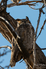 Great Horned Owl looks very releaxed