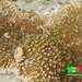 Plate montipora coral (Montipora sp.)