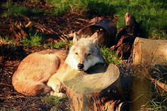 """Dancing"" with Wolves* (under_exp0sed) Tags: wild animal canon wolf outdoor wildlife wildanimal wolves 18135mm 60d"