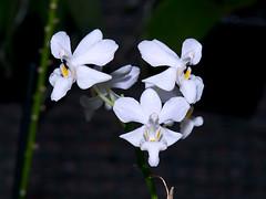 phalaenopsis Purple Gem 'Snowflake' (Eerika Schulz) Tags: snowflake purple phalaenopsis gem