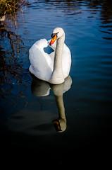 Wigg Island (Tony Hodgkinson Photography) Tags: orange white bird water swan cheshire runcorn wiggisland