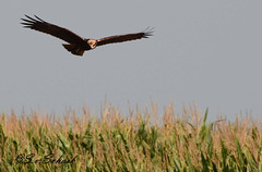 Western Marsh Harrier - Circus aeruginosus (stefanvanschaik) Tags: kiekendief kiek harrier brown bruin vogel bird roofvogel circusaeruginosus