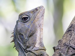 Forest Dragon (male) (Karlbobski) Tags: mary scenic reserve queensland maleny cairncross