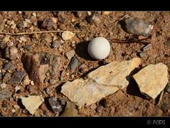 Un altre pet de llop (PCB75) Tags: mushroom mira foret seta champignon pilz setas bosc magia  bolets bolet schwammerl  onddo petdellop mgic  goita perlatus