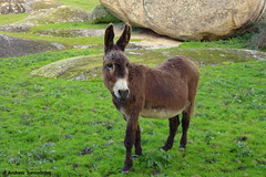 Burro (AndreiaFMS) Tags: sky tree verde green portugal nature animal animals fauna flora natureza paisagem cu panasonic campo alentejo animais rvore pedra animalia rvores rocha pavia vora rochas arraiolos andreiasarnadinha sarnadinha
