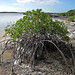 Mangroves along the shoreline of Storr's Lake (San Salvador Island, Bahamas) 2