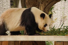 (kimtetsu) Tags: animal japan zoo panda kobe  giantpanda      ojizoo