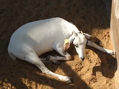 This white Saanen Goat prefers to lie low (oldandsolo) Tags: fauna zoo uae goat abudhabi livestock domesticanimals unitedarabemirates billygoat zoologicalgardens animalfeeding capraaegagrushircus feedingstation emiratesparkzoo swisssaanengoat samhaabudhabi