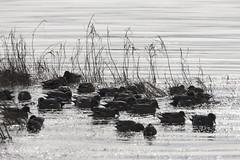 American Wigeon_5305 (Mike Head - Jetwashphotos) Tags: canada river bay bc feeding britishcolumbia richmond resting puddleduck americanwigeon wigeon dabbler westerncanada baldpate pacificregion