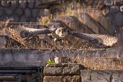 PPD-18 (Jan Rais) Tags: brown green bird nature grass canon eos zoo amazing wings republic view czech flight beak feather owl beast 5d hunter usm plzen 70200 tawny falconry markiii