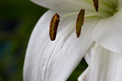 white lily details, macro (gks18) Tags: white flower macro nature floral closeup canon lily details naturallight 100mm bloom canon7d