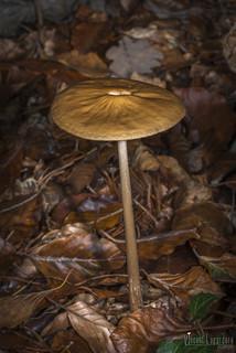 Oudemensiella sp.