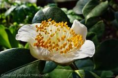 Kamelie im Botanischen Garten in Köln (mama knipst!) Tags: flower fleur camelia camellia blume kamelie