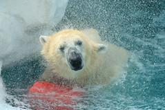 polar bear... (necydalis) Tags: bear park white playing water pool animal japan mammal japanese zoo tokyo ueno spray explore polar nikkor afs vrii nnikon sprash 30028g d300s
