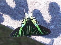 A Green Moth
