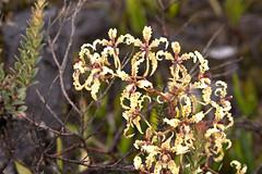 odontoglossum (Eerika Schulz) Tags: ecuador odontoglossum ecuagenera