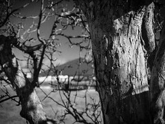 Branch Cluster 03 (Herr Schweiger) Tags: trees blackandwhite bw landscape colorado streetphotography outdoorphotography