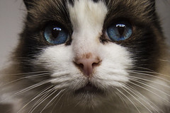 Noska (Colin-Powell) Tags: pet cat fur nose eyes feline whiskers ragdoll