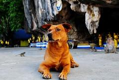 ,, Tuff Guy ,, (Jon in Thailand) Tags: bells monkey eyes nikon ears jungle nikkor primate d300 tuffguy 175528 abandonedabusedstreetdogs littledoglaughedstories
