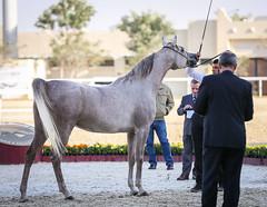 2015 Qatar Straight Egyptian Arabian Horse Show (www.ziggywellens.com) Tags: show horse international egyptian arabian straight qatar 2015 canoneos5dmarkiii