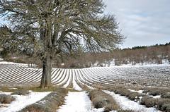 au pied de'un arbre (christian.man12) Tags: nikon plateau hiver neige provence lavande arbre sault 18105 d5100