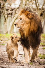 JaxZoo_2-27-15-7777 (RobBixbyPhotography) Tags: animals zoo florida lion lions jacksonville