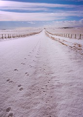 The Road Less Travelled (Tracey Rennie) Tags: road winter snow fence vanishingpoint tracks alberta pawprints animaltracks cochrane