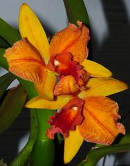 Cattlianthe (Sophrolaeliocattleya) Hazel Boyd 'Tropical Fantasy' hybrid orchid, a division of the original frank fordyce cross (nolehace) Tags: sanfrancisco winter orchid flower fantasy hazel tropical bloom boyd hybrid 115 nolehace cattlianthe fz35